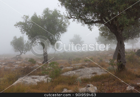 Some olive trees isolated in the fog stock photo, Some olive trees isolated in the fog by Paulo M.F. Pires