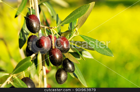 Olives hanging in branch . stock photo, Olives hanging in branch at Alentejo field. by Inacio Pires