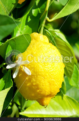 Yellow lemon and flower. stock photo, Yellow lemon and flower hanging on tree. by Inacio Pires