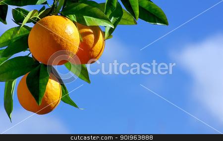 oranges hanging tree stock photo, oranges hanging tree by Inacio Pires