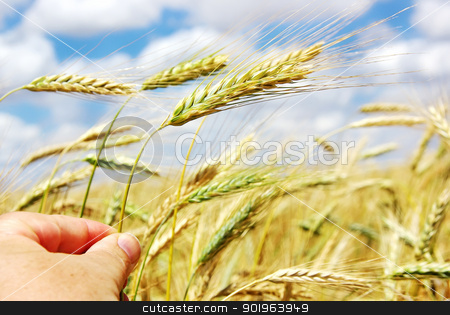 Hand with spike of wheat stock photo, Hand with spike of wheat by Inacio Pires