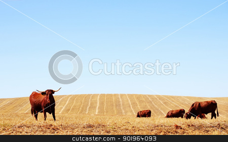 Cows in dry field stock photo, Cows in dry field by Inacio Pires