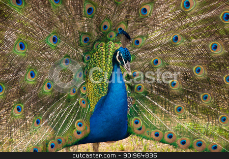 Strutting Peacock stock photo, A peacock displays his tailfeathers. by Joe Tabb