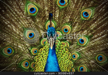 Peacock 2 stock photo, A peacock shows his tailfeathers. by Joe Tabb