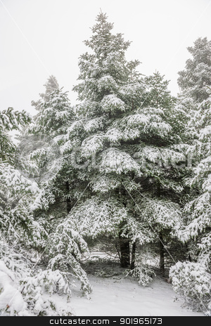 Pine forest under snow stock photo, Pine forest under snow by Andreas Karelias