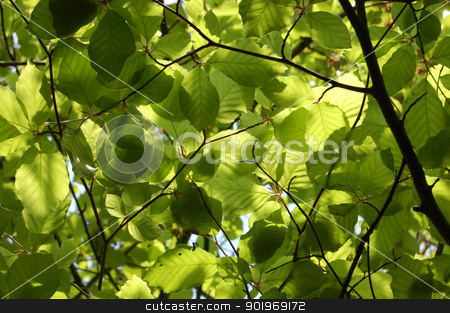 Dense green foliage of beech trees stock photo, Canopy of green beech leaves seen from below by Sarah Marchant