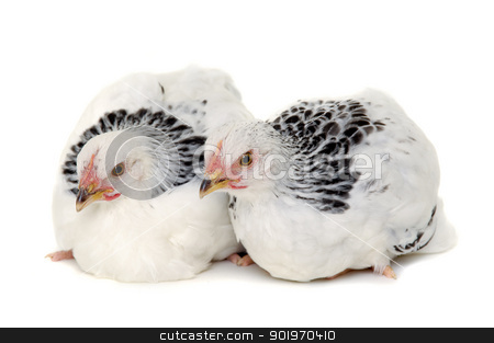 Two chickens stock photo, Chickens is standing and looking. Isolated on a white background. by Lars Christensen