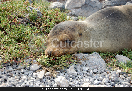 Sea lion stock photo, Sea lion dozing on shore in the Galapagos Islands by Sarah Marchant