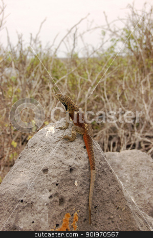 Lava lizard sitting on volcanic rock stock photo, Lava lizard sitting on volcanic rock in the Galapagos Islands by Sarah Marchant