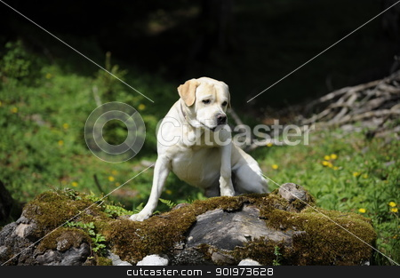 labrador on a trunk stock photo, labrador climbing up on a trunk by Michael Jenewein