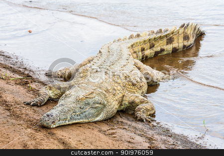 Kenian crocodiles stock photo, Kenya, Tsavo East National Park. Crocodiles  joining the last sun before the sunset by Perseomedusa