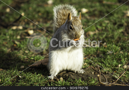 Squirrel foraging for nuts stock photo, Closeup frontal view of an adult squirrel foraging for nuts sitting upright with one in its paws by Joshua Hilton