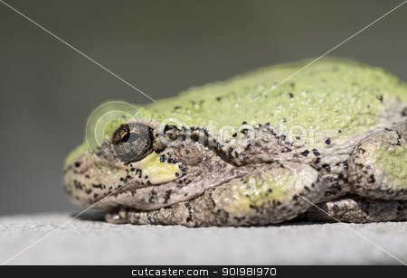 Narrow focus on eye of bullfrog or frog stock photo, Bullfrog, frog or toad in macro shot focused on the eye of the creature by Steven Heap