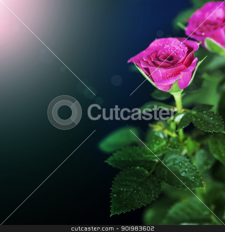 pink roses stock photo, Flowers background with pink roses by klenova