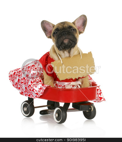 cute female puppy stock photo, cute female puppy - french bulldog in a wagon with a sign around her neck by John McAllister
