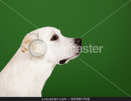 Labrador Retriever stock photo, Beautiful dog of breed Labrador sitting and isolated on green by ikostudio