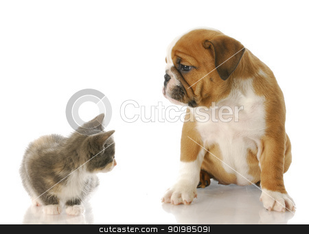 kitten and puppy stock photo, eight week old kitten and english bulldog puppy looking at each other with reflection on white background by John McAllister
