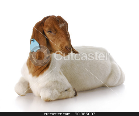 goat stock photo, purebred south african boer goat doeling with reflection on white background by John McAllister