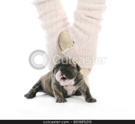 ballerina and newborn puppy stock photo, ballerina and newborn puppy - english bulldog puppy - 4 weeks old by John McAllister