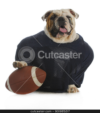 sports hound stock photo, sports hound - english bulldog dressed up like a football player by John McAllister