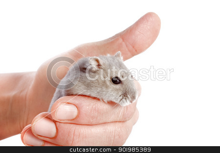 Djungarian hamster stock photo, portrait of a cute Djungarian hamster in an hand in front of white background by Bonzami Emmanuelle