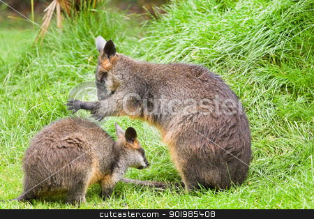 Swamp wallabies stock photo, Swamp wallabies in high grass on rainy day in summer by Colette Planken-Kooij