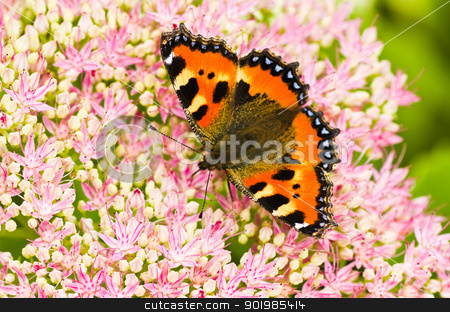 Small tortoiseshell butterfly on Sedum flowers stock photo, Small tortoiseshell butterfly or Aglais urticae on Sedum flowers in late summer by Colette Planken-Kooij