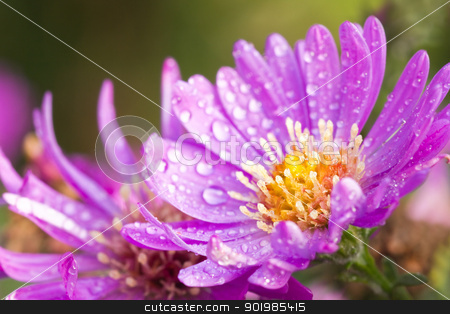 New York aster or Michaelmas daisy stock photo, New York aster or Michaelmas daisy with waterdrops flowering in autumn sunshine by Colette Planken-Kooij