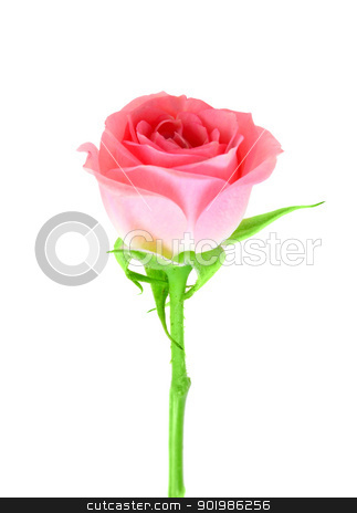 Pink flower of rose on a green stalk stock photo, Single pink flower of rose on a green stalk. Isolated on white background. Close-up. Studio photography. by Andrey Khritin