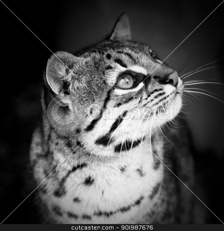 Striped cat portrait stock photo, Black and white image of the head of a striped cat with markings similar to a wildcat by pcooklin