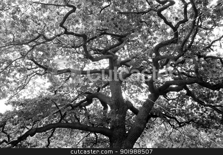 Gnarled old tree stock photo, Gnarled branches of an old oak tree. by Andrea Thornberg