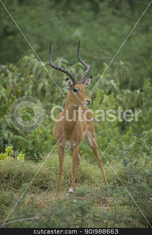 impala in the savannah stock photo, impala standing on the grass in amboseli national park by faabi
