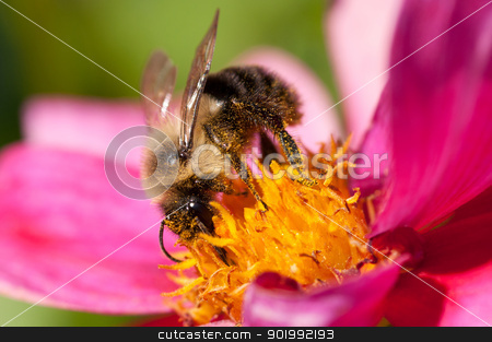 Bee 17 stock photo, A bee is covered with pollen. by Joe Tabb