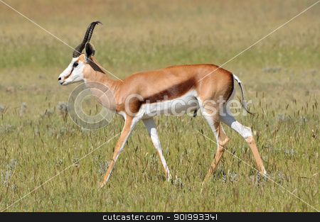 Springbok in the Etosha National Park 4 stock photo, Solitary Springbok in the Etosha National Park by Grobler du Preez