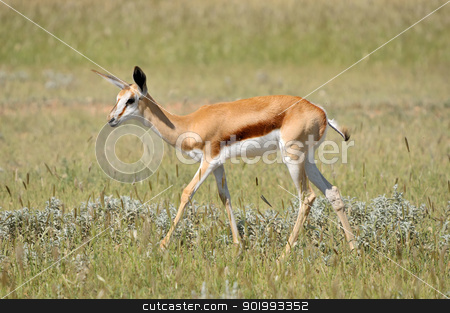 Springbok in the Etosha National Park 3 stock photo, Solitary Springbok in the Etosha National Park by Grobler du Preez