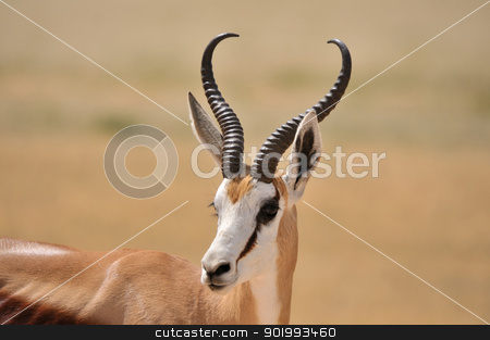 Springbok in the Etosha National Park 2 stock photo, Solitary Springbok in the Etosha National Park by Grobler du Preez