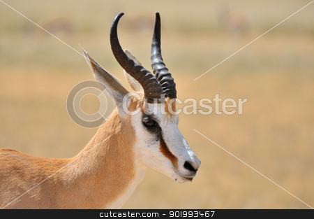 Springbok in the Etosha National Park 1 stock photo, Solitary Springbok in the Etosha National Park by Grobler du Preez