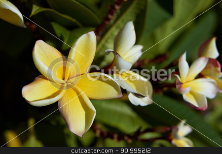 Plumeria flower close-up stock photo, Plumeria flower close-up. Canary Islands, Lanzarote, Jardin de Cactus. by Kaja Twardy