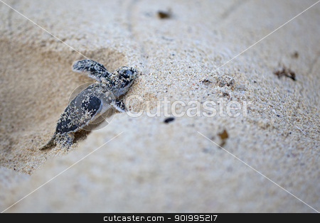 Green Sea Turtle Hatchling stock photo, Green Sea Turtle Hatchling making its first steps from the beach to the sea by Kjersti Jorgensen