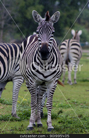 Zebra stock photo, Grants Zebra by Thomas Marchessault