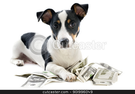 jack russel terrier with dollars stock photo, portrait of a puppy jack russel terrier with dollars in studio by Bonzami Emmanuelle