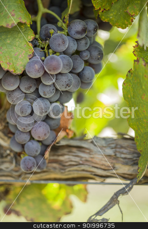 Lush, Ripe Wine Grapes on the Vine stock photo, Vineyard with Lush, Ripe Wine Grapes on the Vine Ready for Harvest. by Andy Dean