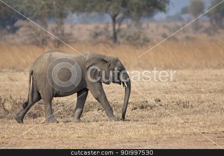Wild Elephant stock photo, Wild Elephant in the Savannah in Mikumi, Tanzania by Kjersti Jorgensen