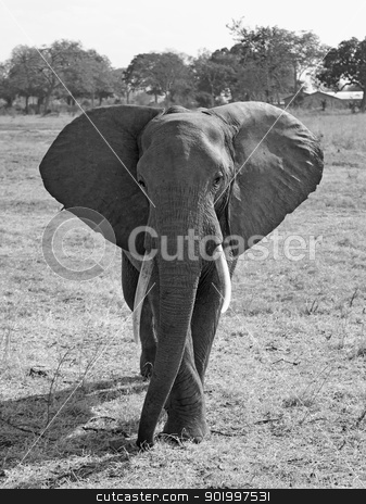 Wild Elephant stock photo, Wild Elephant in the Savannah in Mikumi, Tanzania by Kjersti Jorgensen