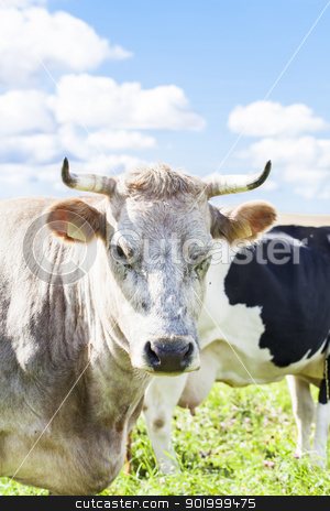 Cows graze in the meadow near to the farm stock photo, Cows graze in the meadow near to the farm by ARNIS LAZDINS