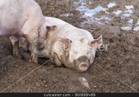 Two pigs sleeping in mud stock photo, Two pigs sleeping in mud by ARNIS LAZDINS
