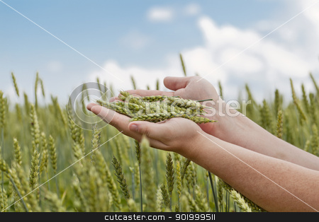 Hands with wheat ears on cereals field in summer stock photo, Hands with wheat ears on cereals field in summer by ARNIS LAZDINS