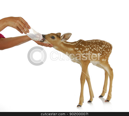 hand raising fawn stock photo, hand raising fawn - woman bottle feeding baby doe isolated on white background by John McAllister