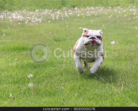 dog running stock photo, dog running - english bulldog running in the grass by John McAllister