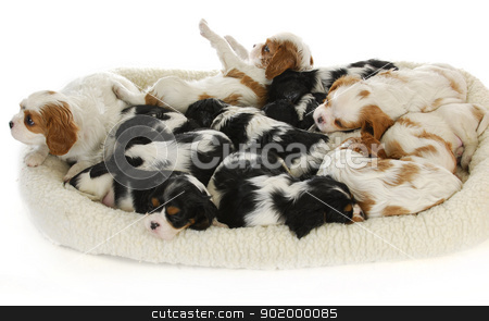 litter of puppies stock photo, litter of puppies - thirteen cavalier king charles spaniel puppies sleeping - 6 weeks old by John McAllister
